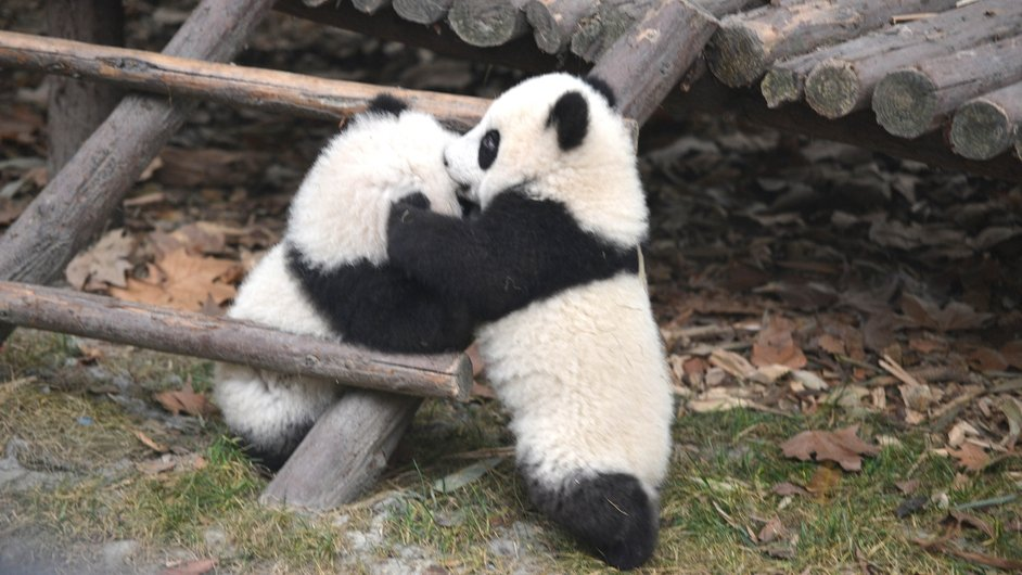 Giant pandas enjoy themselves at the Chengdu Research Base of Giant Panda Breeding in China