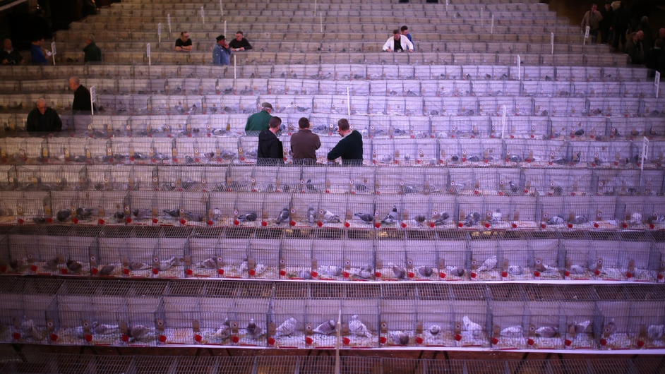 Pigeon fanciers gather for The British Homing World Show of the year in Blackpool, England