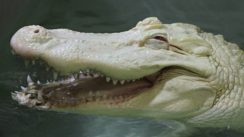 An albino crocodile at a zoo in the Czech Republic
