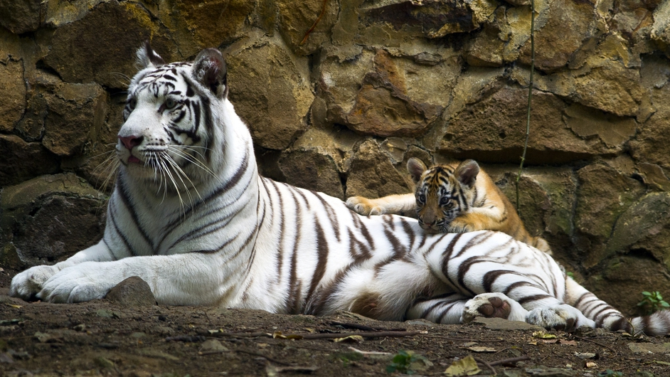 Indira, a bengal white tigress, lies down with one of her cubs at the zoo of Cali, Colombia