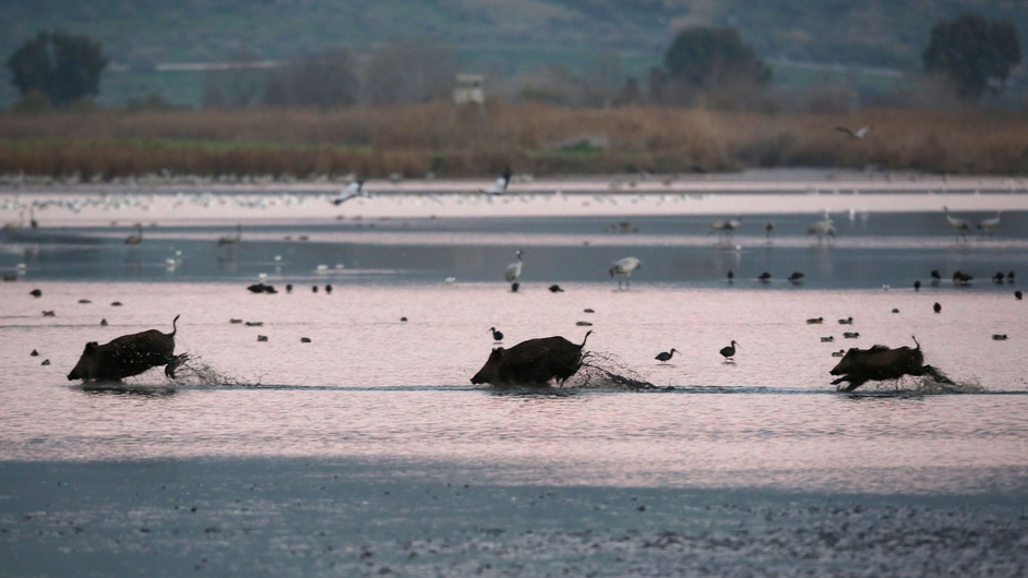 Wild boars cross the Hula Lake Nature Reserve in northern Israel (Pic: EPA)