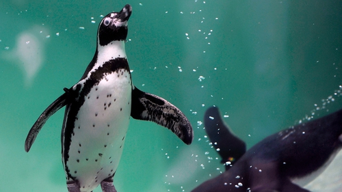 Humboldt penguins are threatened with extinction in Peru and Chile