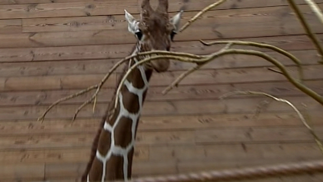 Marius the giraffe was put down after campaign to save him failed