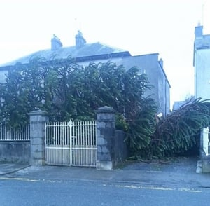 This 90-year-old chilean pine tree planted by Eamon de Valera in Birr, Co Offaly was blown down (Pic: Brendan Horan)