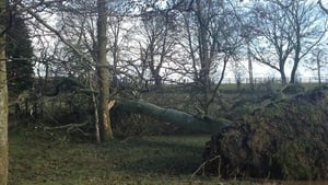 This tree was torn down in Co Kilkenny