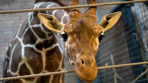 Marius was killed at Copenhagen Zoo last week