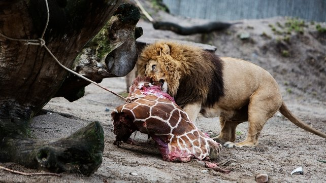 A lion eats some of the remains (Pic: EPA)