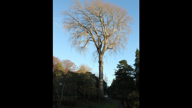 The 200-year-old grey poplar on the Birr Castle Demense was blown down