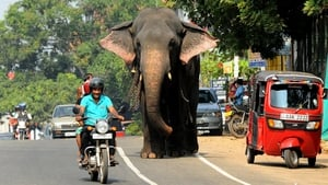 A Sri Lankan elephant takes a morning stroll along a street in Colombo. The Sri Lankan elephant is listed as endangered by the International Union for Conservation of Nature as the population has declined by at least 50% over the last three generations.