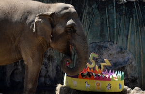 Elephant Trompita enjoys a piece of birthday cake made of vegetables and fruit during her 53rd birthday celebration at the Aurora zoo in Guatemala city