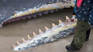 A child stands near the body of a sperm whale that beached on the coast of Denmark