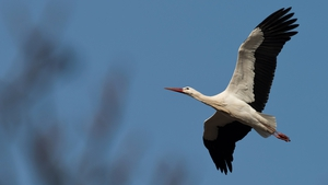A white stork known as Kurtchen Rotschnabel flies over its nest in Bad Freienwalde, Germany (Pic: EPA)