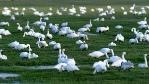 Wild tundra swans resting in a meadow near Meggerdorf, Bergenhusen, Germany (Pic: EPA)
