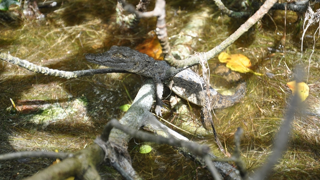 A baby crocodile in the Celestún mangroves