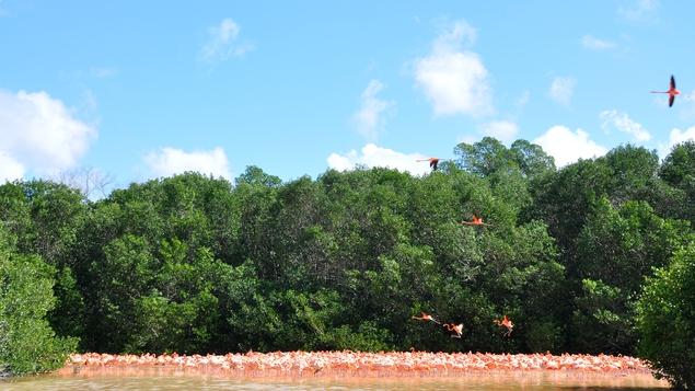Pink flamingoes at Reserva de la Biosfera Ría Celestún