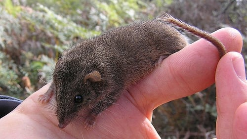 The Black-Tailed Antechinus is a cousin of the Agile Antechinus (pictured)