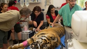 Theatre staff monitor a 120kg male tiger 'Rokan' during a general health check at Wellington Zoo