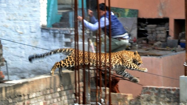 The leopard was pictured leaping off a building site in Meerut
