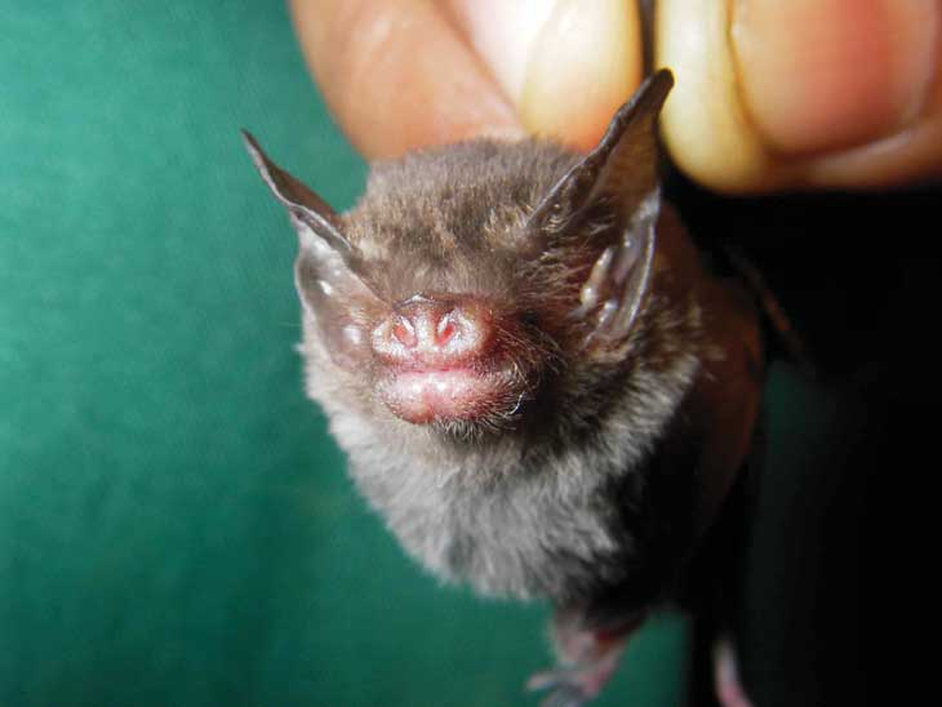 This is a photo of the Craseonycteris thonglongyai (bumble-bee bat). It is one of the rarest species in the world and is only found in two populations, one in Thailand and one in Myanmar (Pic: Emma Teeling)
