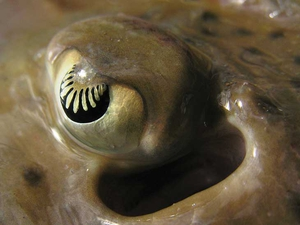 The eye of a spotted ray (Raja montagui) caught during a survey of the Irish Sea aboard the RV Celtic Voyager. Its intricately shaped iris makes the ray's eye very sensitive to movements within a large visual field (Pic: Edward Farrell)