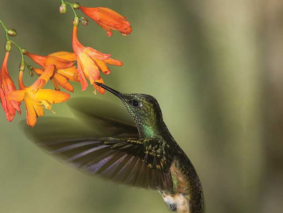A hummingbird hovering at a flower, captured during research into the study of bird flight and its evolution (Pic: Billy Clarke)