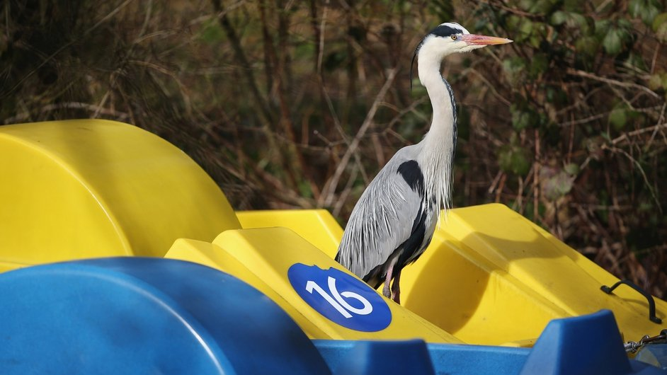 A heron enjoys the spring sunshine as it stands on a pedalo in Battersea Park in London