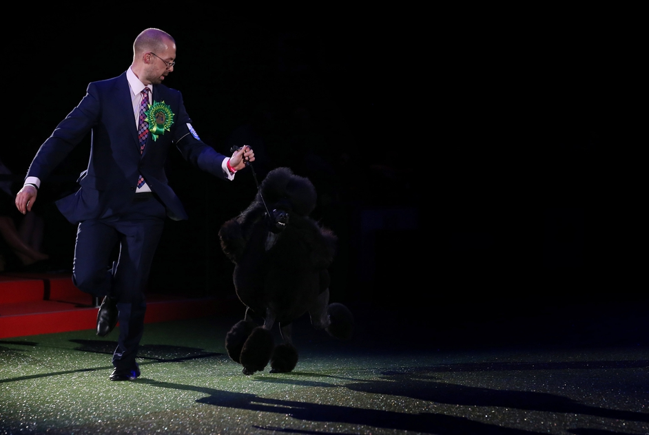 Jason Lynn runs Ricky the Standard Poodle, as they celebrate winning the Best in Show category of Crufts Dog Show in Birmingham