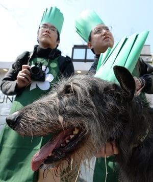 An Irish wolfhoud and cooks wearing green chief's hats wait for the start of the St Patrick's Day Parade in Tokyo