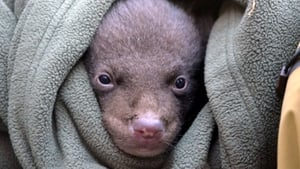 A Manchurian Black Bear cub is held in a blanket in Mount Jiri in South Korea, after five cubs where born in the National Park recently (Pic: EPA)