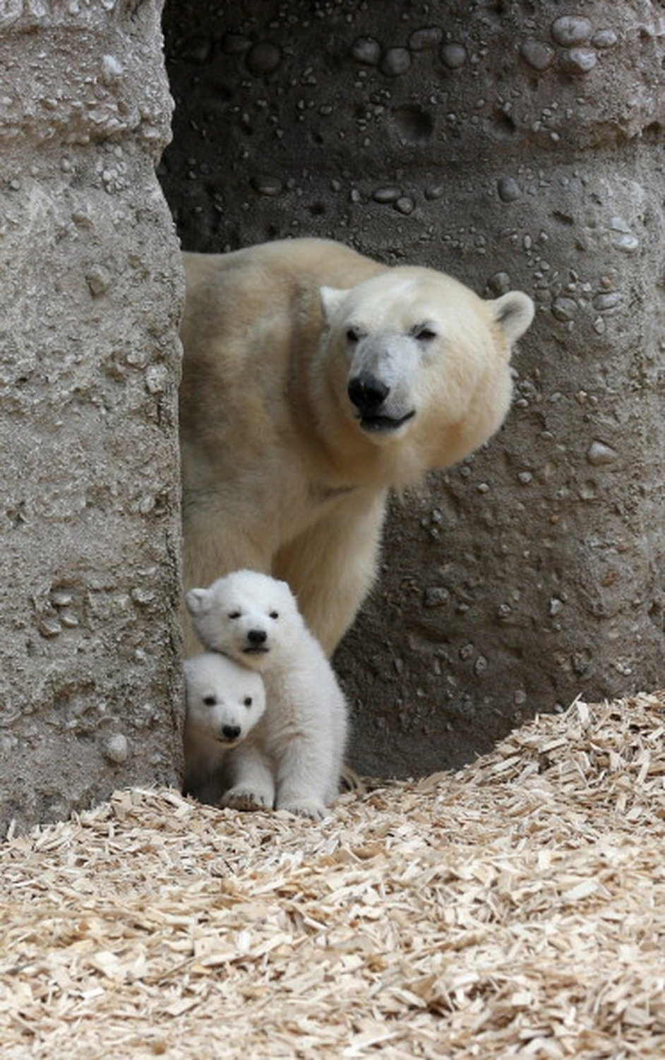 Two 14 week-old polar bear twins explore the outdoor enclosure with mother Giovanna at Tierpark Zoo in Munich.