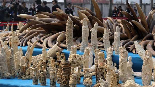 Ivory is displayed before being crushed during a public event in south China's Guangdong province
