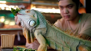 A man feeds an Iguana at a pet cafe in Hanoi in Vietnam. The cafe opened in 2010 and houses up to 40 reptiles and other animals