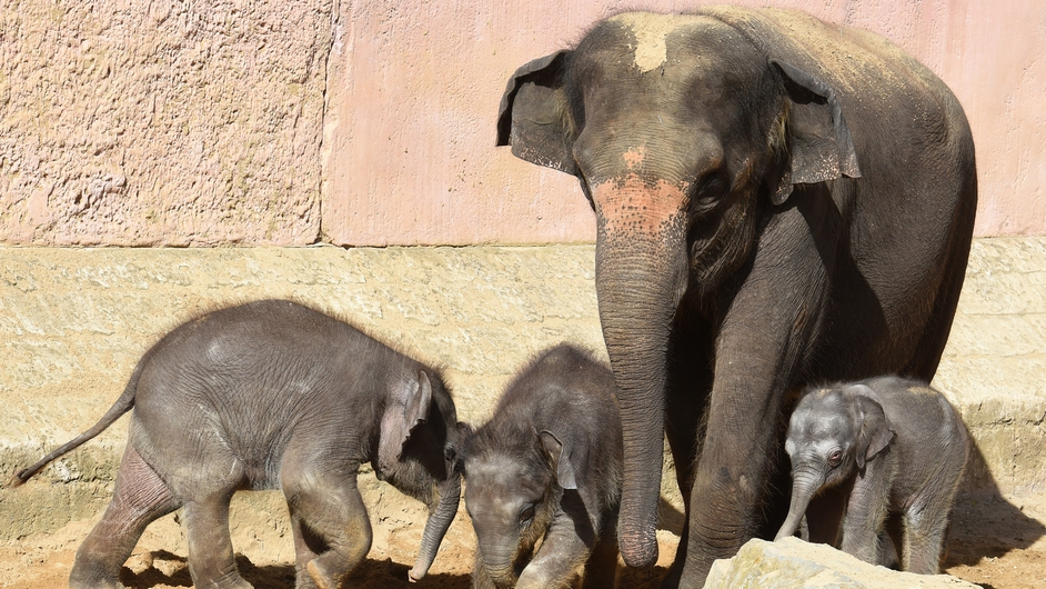 A three-day-old baby elephant (R) greets the public at a zoo in Hanover, Germany (Pic: EPA)