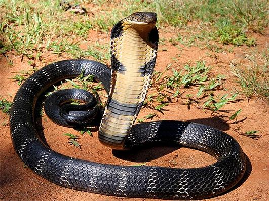 Venemous Snake-Handling Workshop