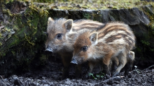 Young boars explore their enclosure near Ravensburg, Germany (Pic: EPA)