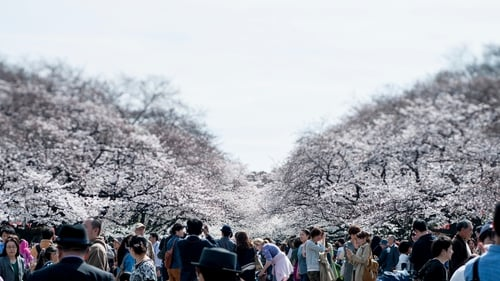 People visit Ueno Park to enjoy the cherry blossom in Tokyo, Japan
