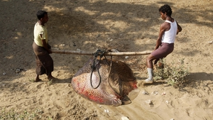 Muslim men carry a big stingray near Thel Chaung Internally displaced persons camp in Burma