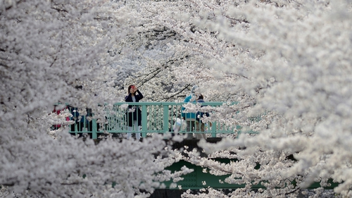 A woman is enveloped by a sea of cherry blossoms in full bloom on a bridge over the Kanda river in Tokyo (Pic: EPA)