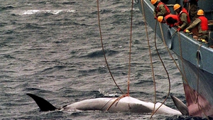 Local media said Japanese whalers were expected to depart for the ocean possibly by the end of December