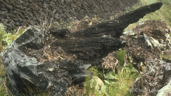 Tree stump in a bog in Co. Kildare, 1977. © RTÉ Archives 0781/064