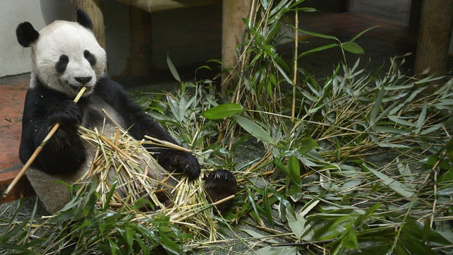 Yang Guang, the male Panda at Edinburgh Zoo, eats bamboo inside his enclosure
