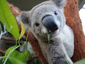 A koala 'selfie' taken by a digital camera triggered by a sensor at Sydney Zoo, Australia (Pic: EPA)