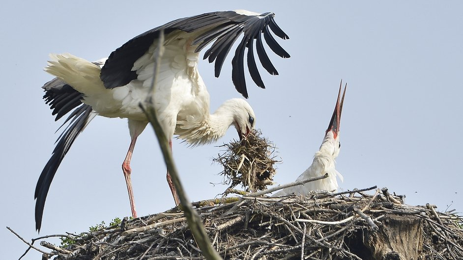 Storks building a nest in Austria (Pic: EPA)