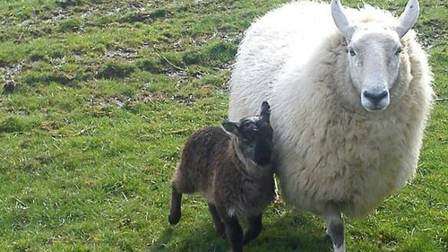 The 'geep' was born two weeks ago (Pic: Paddy Murphy)