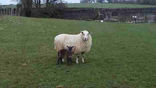 Sheep-goat Hybrids are quite rare because of the genetic distance between the two species
