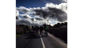 Rush hour near Dingle this morning (Pic: Seán Mac an tSíthigh)