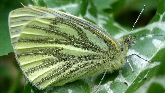 Irish Butterfly Population Increases
