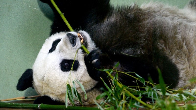 giant panda in uk artificially inseminated