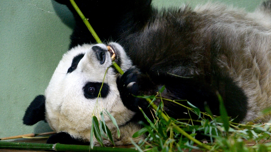 Tian Tian the female panda relaxes with some bamboo inside her enclosure at Edinburgh Zoo