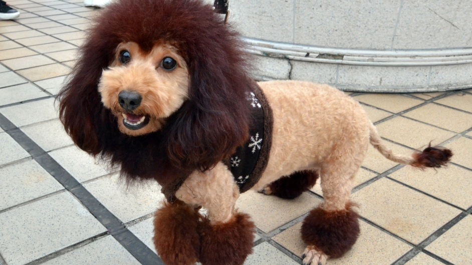 A dog, trimmed to look like a lion, walks on the rooftop of the Mitsukoshi department store in Tokyo